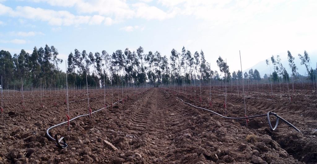 replantacion-paine-cousinomacul